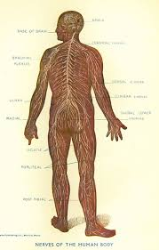nerves human body