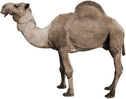 camels animals