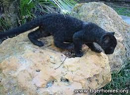baby black leopard