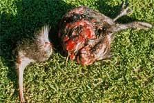 mauled by a dog