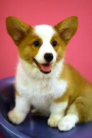corgi welsh puppies
