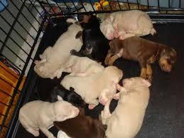 albino doberman puppies