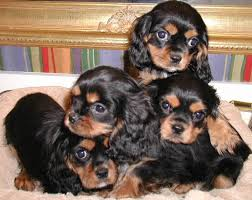 black and tan cavalier puppies