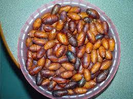 eat bugs