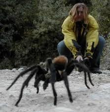 huge tarantula