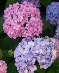 hydrangea pictures