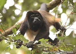 howler monkey picture