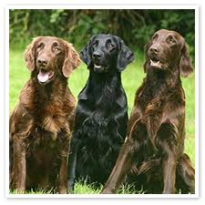 flat coated retriever pictures