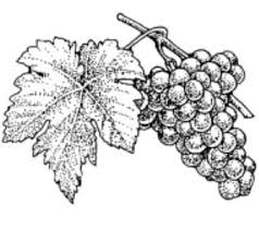 grape pictures