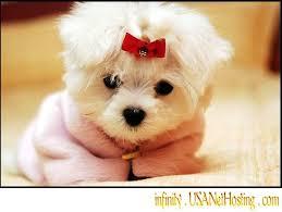 puppy malteses