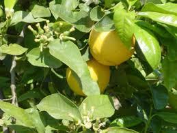 citrus bergamot