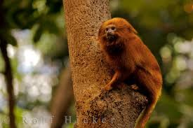 pictures of golden lion tamarin