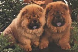 chow dogs for sale