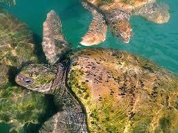 atlantic green turtle