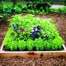 basil planting