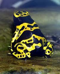 ضفاضع رووووعه بس سامه 483px-Yellow-banded.poison.dart.frog.arp