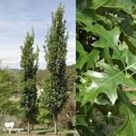 quercus palustris green pillar