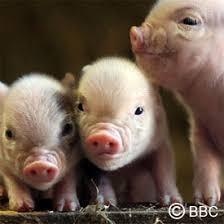 mini pot bellied pig