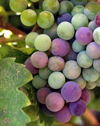 grapes wines