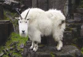 mountain goat photos