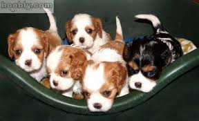 king charles spaniel puppy for sale