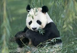 pandas endangered