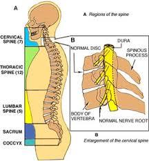 human body spine