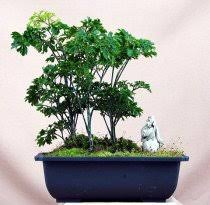 ming aralia bonsai