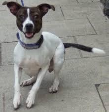long legged jack russell terrier