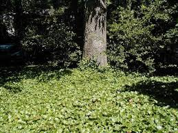 ivy groundcover