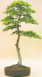 cedar of lebanon bonsai
