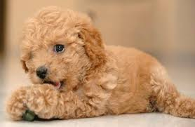 toy poodles puppy