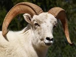 dall sheep photos