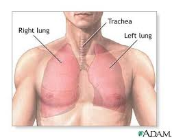 anatomy lung