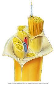 anatomy nerve
