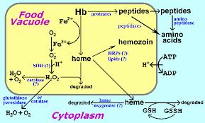 hemoglobin breakdown
