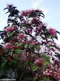 clerodendrum tree