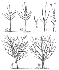pruning fruit
