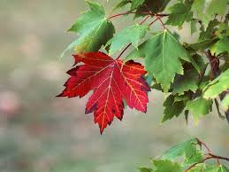 picture of maple tree