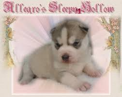 baby husky for sale