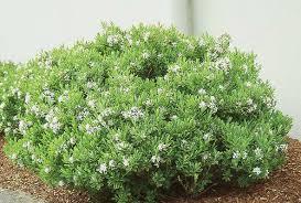 burkwood daphne