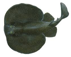 electric fishes