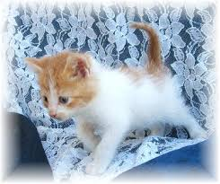miniature cats for sale