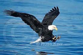 flying bald eagle pictures