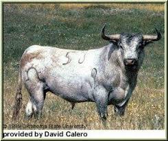 breeds of bulls