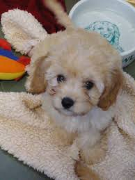 cavachons puppies