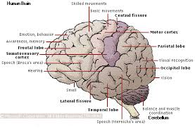 brain and its function