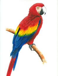 scarlet macaw photo