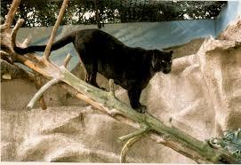 black puma animal