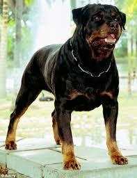 bull mastiff rottweiler